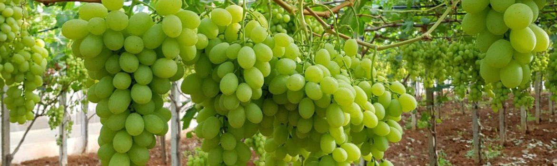 Vino da Dessert - Vino Liquoroso - Vino Aromatizzato